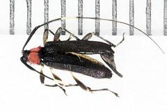 Miguellus monnei nov sp nov gen2015-11-6uptrlBOO_0674c (mcclarinj) Tags: miguellusmonnei miguellus cerambycidae lamiinae colobotheini cosanga napo ecuador jimmcclarin