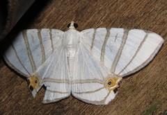 Opisthoxia saturniaria (Birdernaturalist) Tags: bolivia ennominae geometridae lepidoptera moth richhoyer