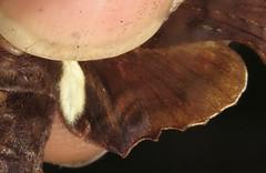 moth (Birdernaturalist) Tags: bolivia lepidoptera moth richhoyer sphingidae