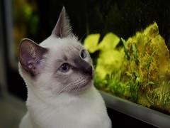 PA280555 (Vladimir V. Samoylov) Tags: 75mm animals cat e5markii mzuiko75mmf18 m43 micro43 microfourthirdsmicro43 olympus omd μ43