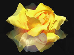 Delicada! :) (Zéza Lemos) Tags: rosas rose rosa jardim jardins plantas flores flor flowers portugal pétalas amarelo algarve vilamoura