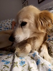 Get off! It's my place ... 😊!... (Pongo) (Deneb56) Tags: getoffitsmyplace getoff scendi pongo pongoinmybed pongoonmybed cane dog dogs pongonelmioletto letto interni sera notte huaweyp20pro huaweip20pro
