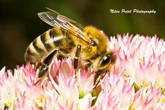 IMG_9969 (nitinpatel2) Tags: bee macro nature nitinpatel