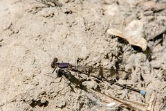 2017 Blue-tipped Dancer (Argia tibialis) (DrLensCap) Tags: bluetipped dancer argia tibialis weber spur trail labagh woods chicago illinois abandoned union pacific railroad right way il bug insect damselfly damsel fly rails to trails cook county forest preserve district preserves robert kramer