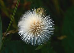 Fluffy Seed Ball And Friend (sunbeem - Irene) Tags: fluffy ball seed seeds fly closeup interesting fluffyseedpod