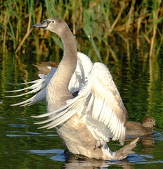1 2 3 and stretch! (Dave Bickley) Tags: swan cygnet attenboroughnaturereserve attenborough september2018 nottinghamshirewildlifetrust pond nottinghamshire fujixt3 fuji