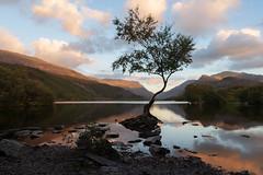 Sunset at the lone tree (outonalymm) Tags: evening llanberis llynpadarn northwales sunset tree wales goldenhour lake lonetree caernarfon unitedkingdom gb