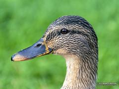 Duck (Roelofs fotografie) Tags: wilfred roelofs fotografie nikon d5600 2018 duck eend dutch dieren animals holland nature neterlands natuur nijverdal regge bird birds picture foto