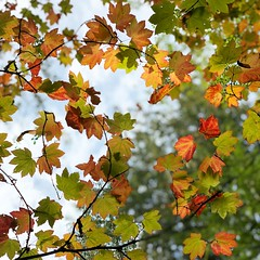 Fall skies (Dalmatica) Tags: iphonex iphonephoto lookingup lookup walks dreamyskies bainbridgeisland pnwfall pnw fallskies fallcolor leavesfall
