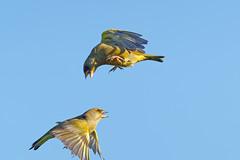 Verdier A7301170_DxO (jackez2010) Tags: ilce7m3 fe100400mmf4556gmoss bif birdinflight verdierd'europe