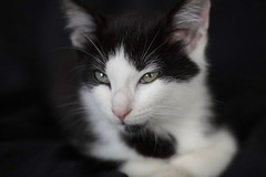 #kitten (NY Photoguy) Tags: kitten cat kitty feline runt spock cute little tiny small adopted found street alone brooklyn new york canon 5d mark4 85mm lens close up whiskers eyes bw black white