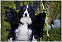 Waiting to be Exorcised (ASHA THE BORDER COLLiE) Tags: halloween funny dog picture costume colliewobbles ashathestarofcountydown connie kells county down photography