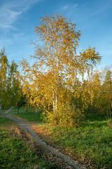 Birch at sunset (1) / Берёза в лучах заката (1) (BogKY) Tags: 2018 омск omsk westernsiberia октябрь october осень autumn bogky sonyalpha7r2ilce7rm2ff sel1635z rawconvertsoft золотаяосень goldenautumn бабьелето indiansummer пейзаж landscape природа nature закат sunset дерево tree берёза birch тропинка дорожка path footpath парксоветскогорайона парк park resizesoft