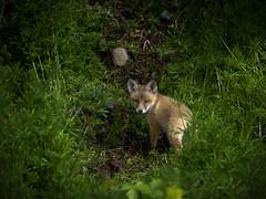 Fox cub and stone (mond.raymond1904) Tags: dublin fox cub dodder river alone