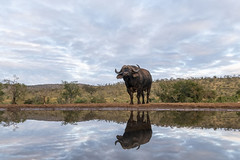 Bufallo - Zimanga - South-Africa (wietsej) Tags: bufallo zimanga southafrica nature reflection sony a7rm2 a7rii sel1018 1018 animal safari africa