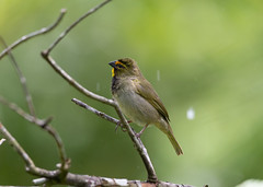 Yellow-faced Grassquit in the rain (mak_9000) Tags: yellowfacedgrassquit