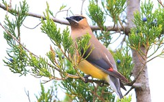 cedar waxwing near Cardinal Marsh IA 653A1362 (lreis_naturalist) Tags: cedar waxwing eating red tree berries cardinal marsh winneshiek county iowa larry reis