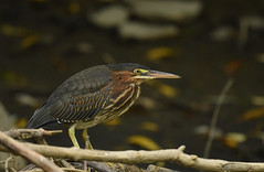 Green Heron (aj4095) Tags: green heron nature wildlife bird ontario canada water river