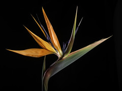 Back Lit Bird Of Paradise - 6549 (Bill Gracey 20 Million Views) Tags: birdofparadise fleur flower flor homestudio macrolens floralphotography offcameraflash tabletopphotography color colorful roguegrid backlit backlighting blackbackground lakeside glow glowing