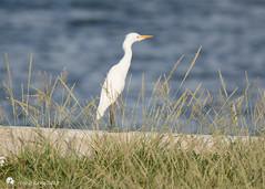 Cattle Egret (Tony CC Gray) Tags: cattleegret birds tonygray canon floridakeys knightskey marathon florida