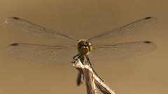 _IGP2417 (andrzejreschke) Tags: insects reptiles plants grass nature butterfly lizard moss flowers beauty beautyofnature