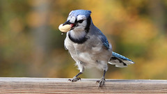Peanut (blazer8696) Tags: 2018 brookfield ct connecticut ecw obtusehill t2018 tabledeck usa unitedstates blja blue bluejay corvidae cristata cyacri cyanocitta cyanocittacristata img1620 jay passeriformes