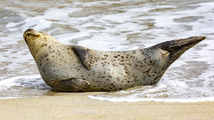 18A_1283 (Mark Ritter) Tags: seal seals macro lajolla california