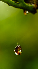 Long Drop (ianbartlett) Tags: outdoor leaves web water droplets drops light colour raindrops
