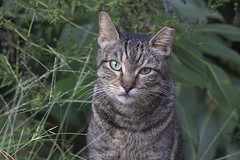 (DFChurch) Tags: feral cat wild stray tabby