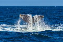 whale9Oct5-18 (divindk) Tags: anacapa anacapaisland channelislands channelislandsnationalpark humpbackwhale megapteranovaeangliae sanmiguelisland santabarbara santacruzisland santarosaisland underwater ventura blueocean cetacean diverdoug flukes marine marinemammal ocean reef sea underwaterphotography whale whaletail