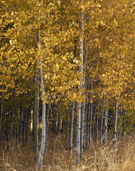 Fall in the Sierras: Aspens at Fallen Leaf Lake (Ruby 2417) Tags: fall autumn color gold yellow golden aspen tree forest nature tahoe fallen leaf lake