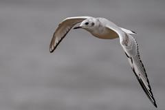 BonapartesGull181020 (1 of 1) (daverazzi) Tags: gull bird birdwatching peace valley park