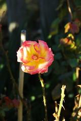 DSC_2710 (PeaTJay) Tags: nikond70s reading lowerearley berkshire macro micro closeups gardens outdoors nature flora fauna plants flowers rose roses rosebuds