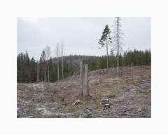 Rexbo 2018 (Karl Gunnarsson) Tags: rexbo sweden g80 panasonic20mmf17 dalarna sverige falun bjursås autumn trees clearcut logging stumps spruce birch pine overcast forest