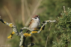 Tree Sparrow (Dr Wood's Wildlife Photos) Tags: treesparrow passermontanus moineaufriquet feldsperling pilfink gorriónmolinero passeramattugia skovspurv ringmus pikkuvarpunen δενδροσπουργίτησ pardalmontês sparrow