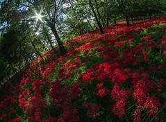 red spider lily (S.Hirose) Tags: 日高市 埼玉県 日本 jp japan red spider lily pentax fisheye green light dark shadow flower