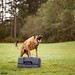 """The Grimm 38/52/2018 """"Objet"""" (Kate McLellan) Tags: 52weeksfordogs frenchring malinois"""