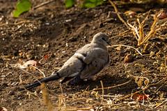 Namaqua Dove, Tihongonyeni, Kruger National Park, June 2018 (roelofvdb) Tags: 2018 356 date dove dovenamaqua june knp mopani namaquadove place southernafricanbirds year