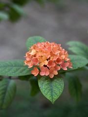 Flowers in autumn (hasham2) Tags: flowers vintage mediumformat lens mamiya645 55mmf28 canon 5dmk2 dof mamiyasekor55mmf28c