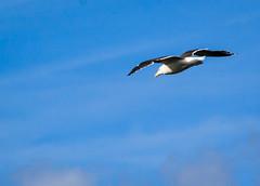 Gulls off the high cliffs of  Berry Head (pootlepod) Tags: canon60d closeup candid colour gulls birds blackbackedgull soaring devon wildlife natural rspb ocean herringnsea cliffs berryhead england raw birdlife nature reserve