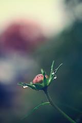 Autumn Rain (flashfix) Tags: september252018 2018inphotos flashfix flashfixphotography ottawa ontario canada nikond7100 40mm flower bokeh macro droplets rain water stems green pink 2minutemacro