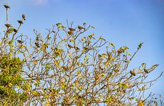 Etourneaux. (Crilion43) Tags: arbres région véreaux feuillesfeuillage ciel etourneaux cher centre nuages animaux paysages villes