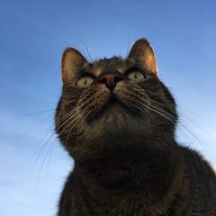 (hannemiriam) Tags: lunathecat animal bluesky frogperspective view catbliss shecat whiskers face catface feline pet chat katze kat cat iphone
