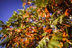 Autumn bokeh (Marcin eM.) Tags: bokeh vivitarwideangle28mmf20 sonyalpha7 sonya7 autumn leaves orange gold