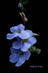 Tumbergias (Altagracia Aristy Sánchez) Tags: tumbergias caribe caribbean caraibbi antillas antilles trópico américa altagraciaaristy quisqueya repúblicadominicana tropic fujifilmfinepixhs10 fujifinepixhs10 fujihs10 fondonegro blackbackground flor flower