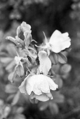 Hybenrose i regnvejr (holtelars) Tags: asahi pentax spotmatic spotmaticii spii m42 supertakumar takumar 50mm f14 film 35mm analog analogue ilford fp4 ilfordfp4 100iso d76 bw blackandwhite monochrome filmphotography filmforever ishootfilm larsholte homeprocessing jobo atl1500 nivå denmark danmark rain rose closeup