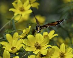 MonarchButterfly_SAF6572 (sara97) Tags: danausplexippus butterfly copyright©2018saraannefinke endangered insect missouri monarch monarchbutterfly nature photobysaraannefinke pollinator saintlouis towergrovepark