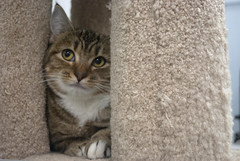 Figgy - 1 year old spayed female