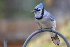 Blue jay (Cyanocitta cristata) (octothorpe enthusiast) Tags: cyanocittacristata bluejay saskatoon saskatchewan feeder urban bird