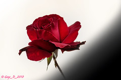 DSC_3841 (Guy_D_2018) Tags: vauréal iledefrance france цветок lule blumen ծաղիկ кветка цвете 花 flower 꽃 cvijet blomst flor lill kukka blodyn ყვავილების λουλούδι virág bunga bláth blóm fiore zieds gėlė цвет voninkazo fjura फूल bloem ਫੁੱਲ gul گل kwiat floare kvetina cvet blomma květina ดอกไม้ çiçek квітка hoa בלום زهرة nikon d90 fleur rose
